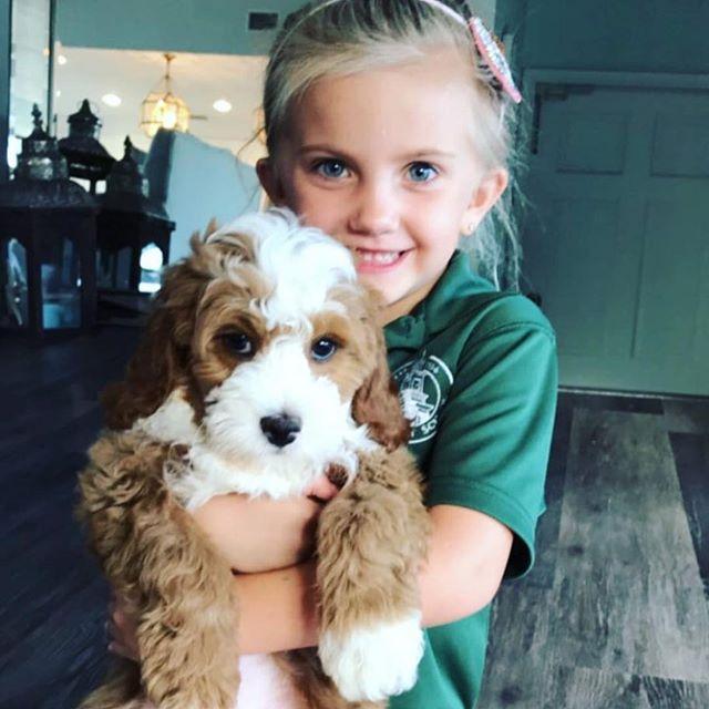 0 Meet Your New Love Cavapoochon Puppy bluebellpuppies_22427044_898618393647324_2160114300708978688_n.jpg