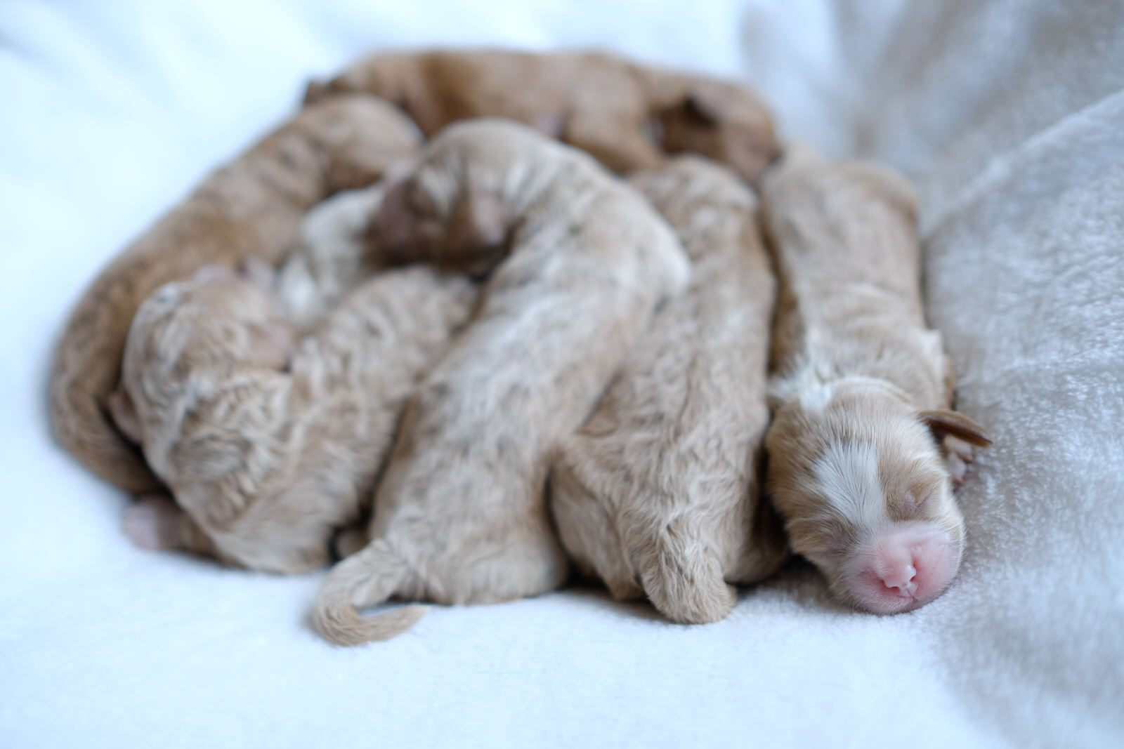 cavapoochon puppies for sale