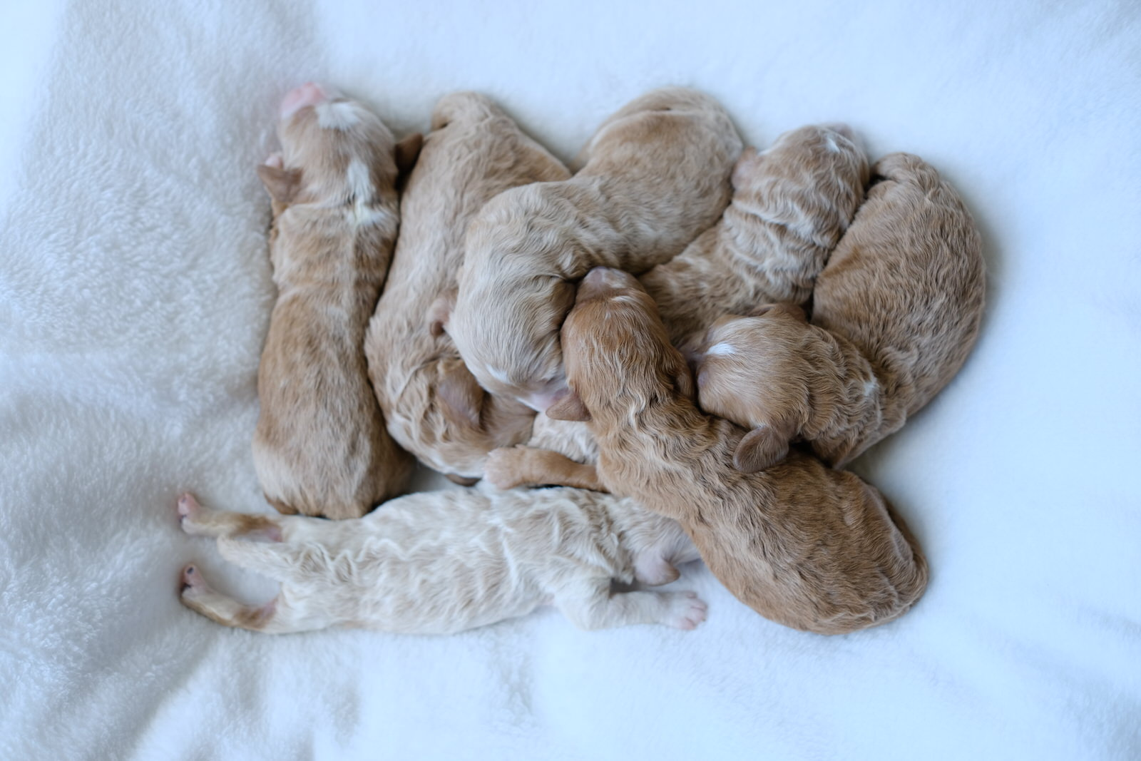 newborn cavapoochon puppies