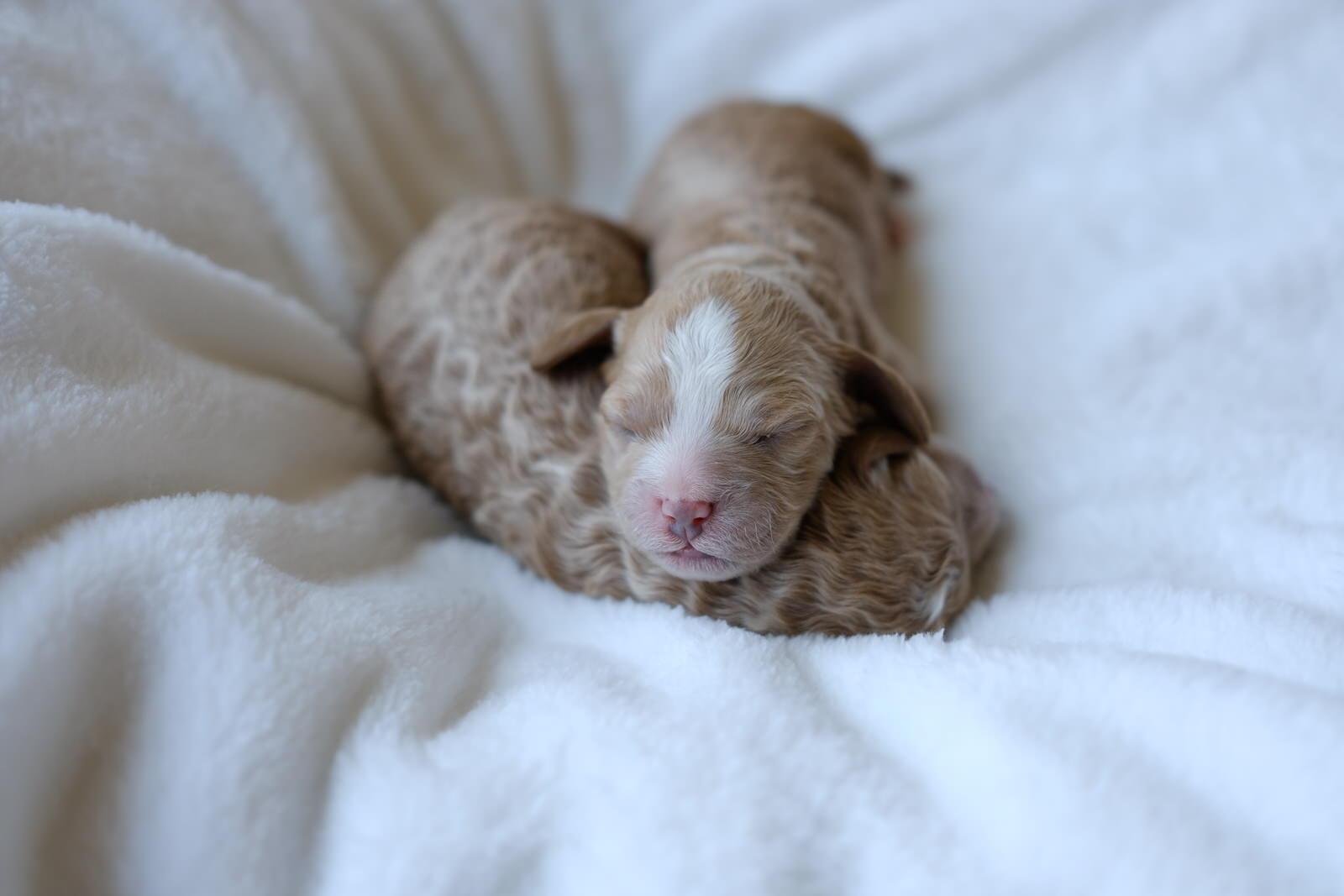 cavapoochon puppy boy