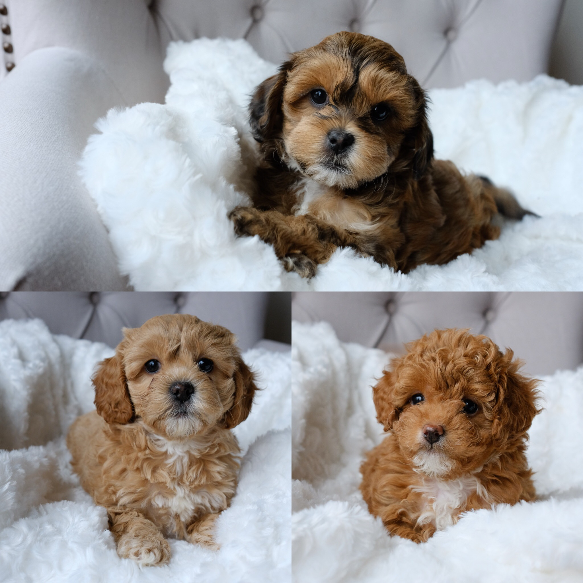 Rosie and Fergie's Cavapoochon litter born February 9, 2018