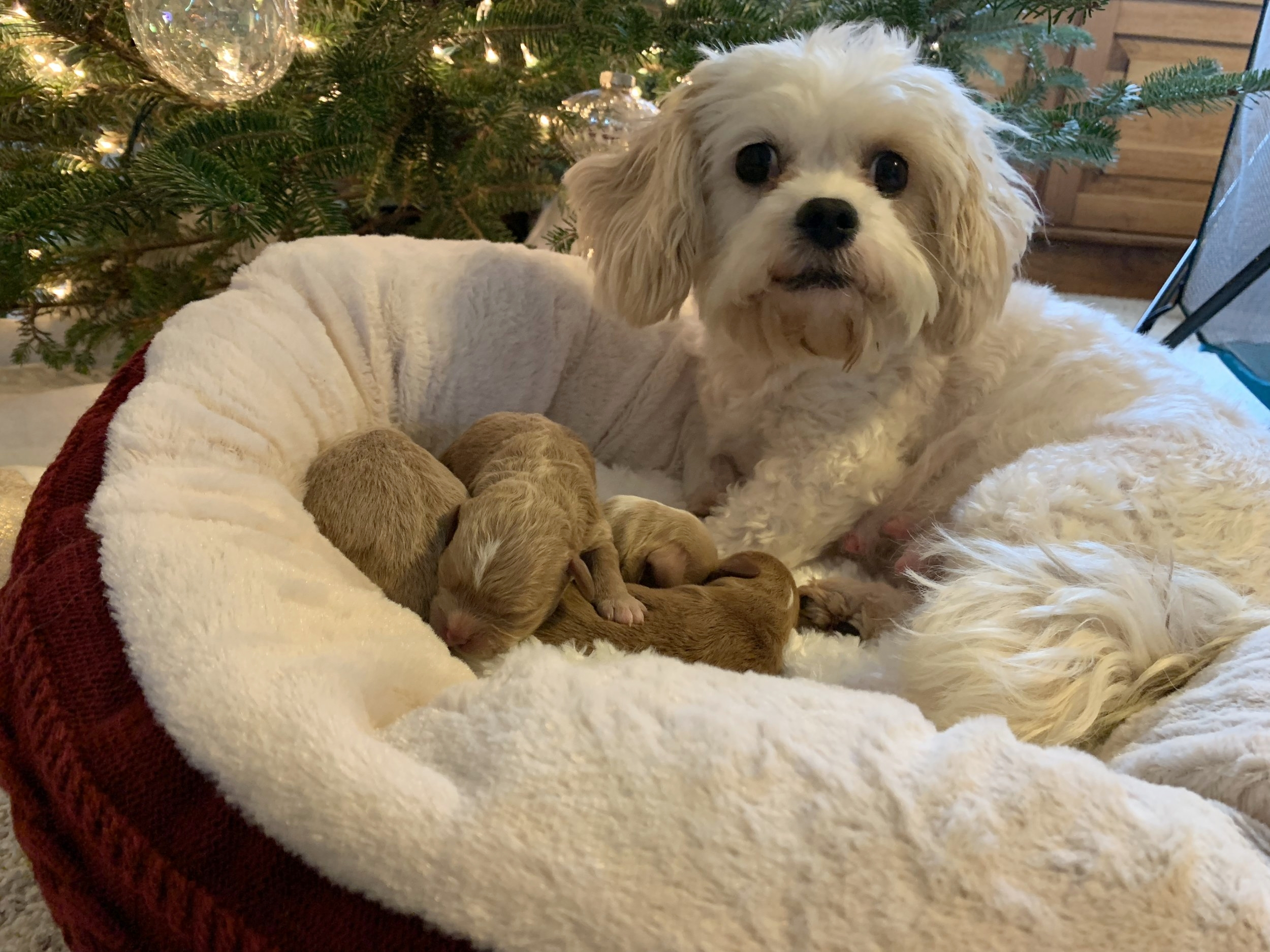 Momma Fancy with her sweet four newborn puppies.