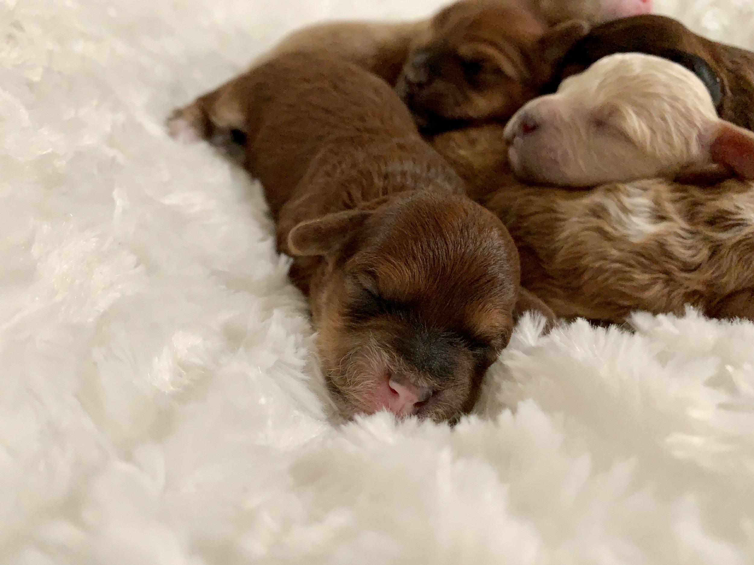 Cavapoochon puppy girl - light sable