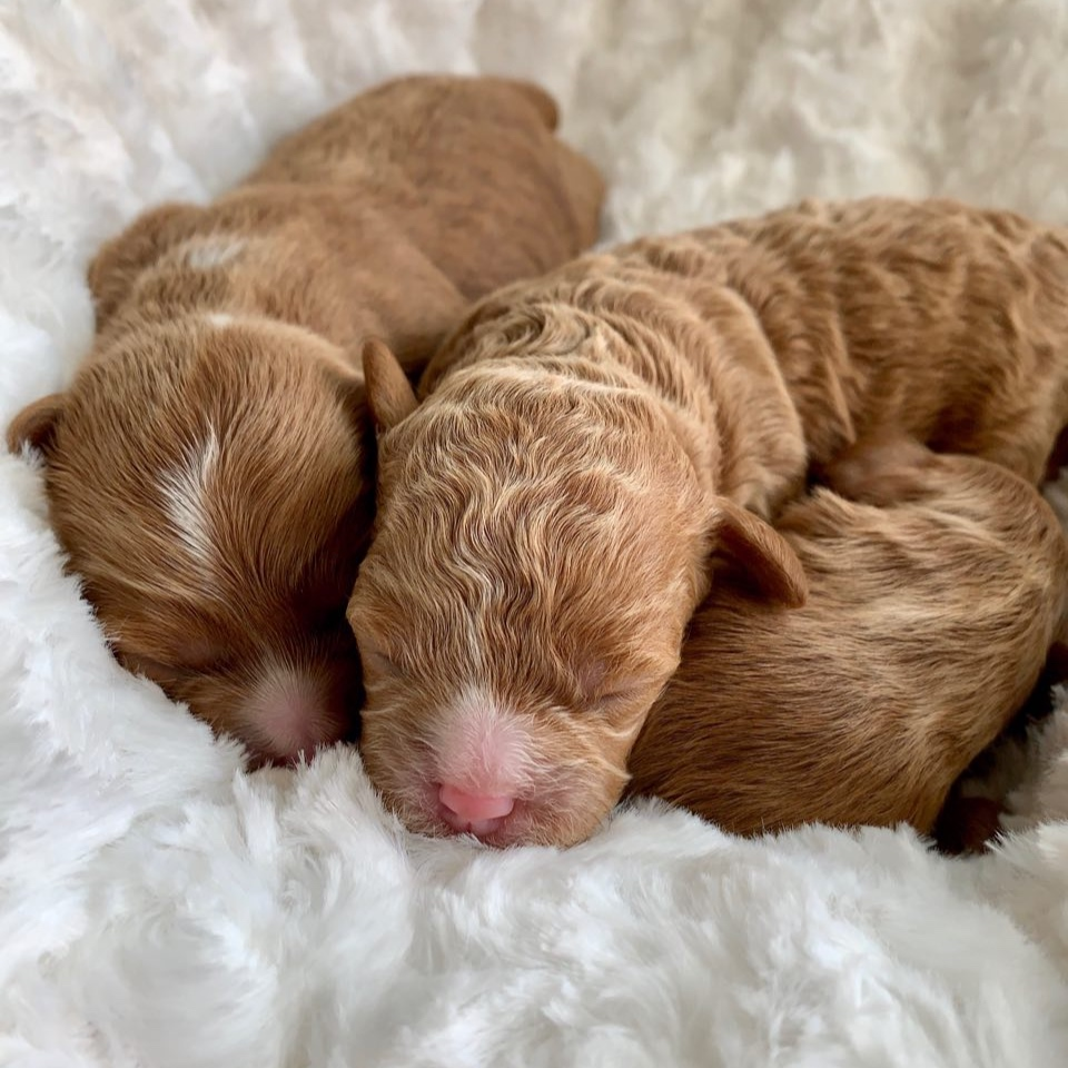 Cavapoochon girls - Dark Apricot with white blaze and Apricot - 3 days old