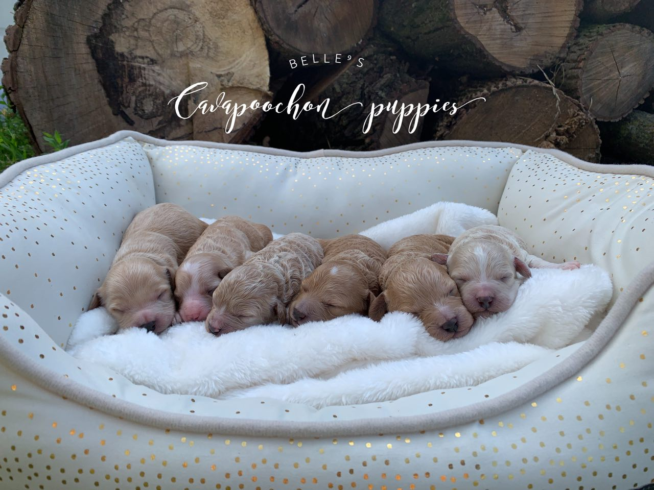 Belle's Cavapoochon puppies - 6 days old