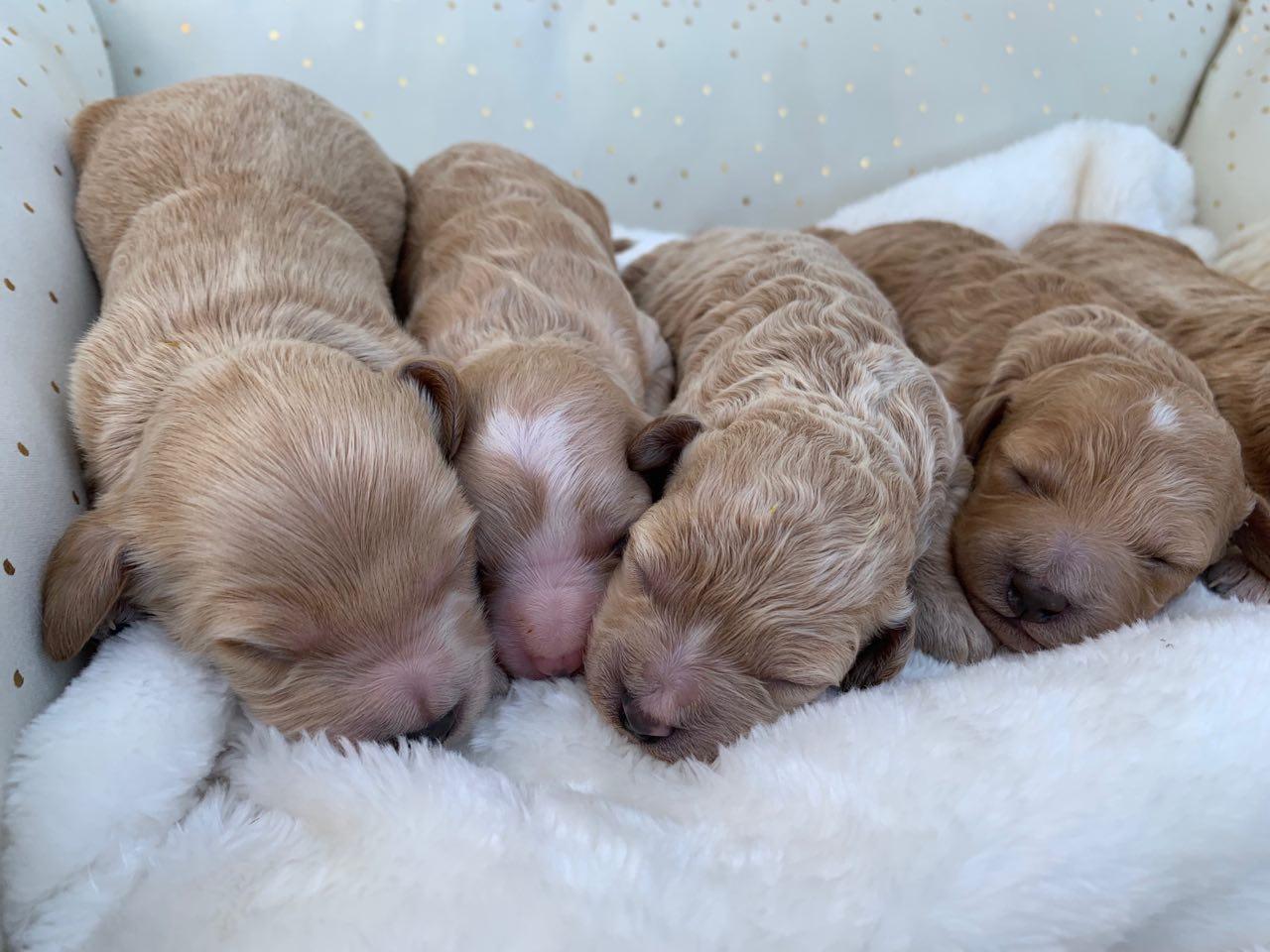 Belle's cavapoochon babies