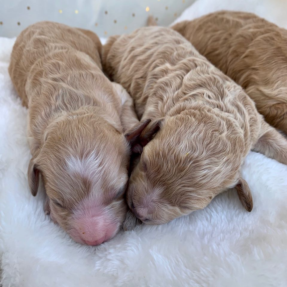 Two of Belle's apricot puppy girls