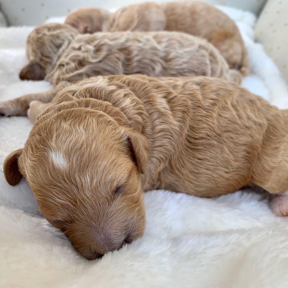 Dark apricot Cavapoochon puppy girl snuggled in between her siblings.