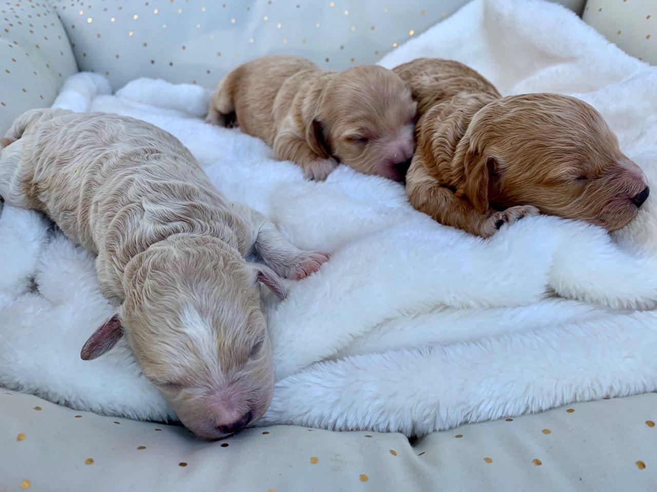 Belle's 3 Cavapoochon puppy boys