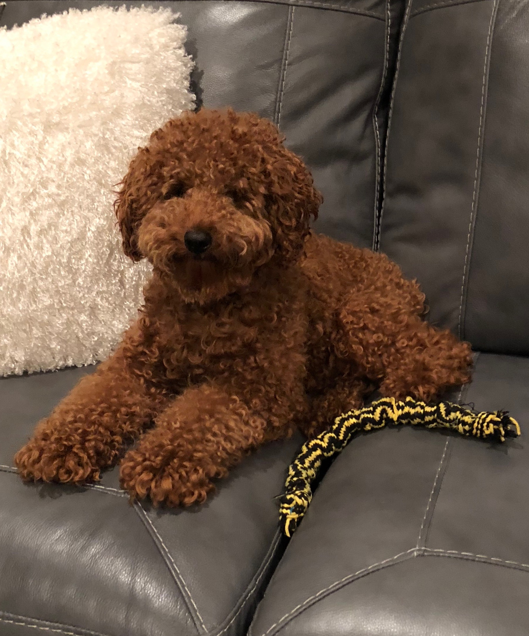 toy poodle father