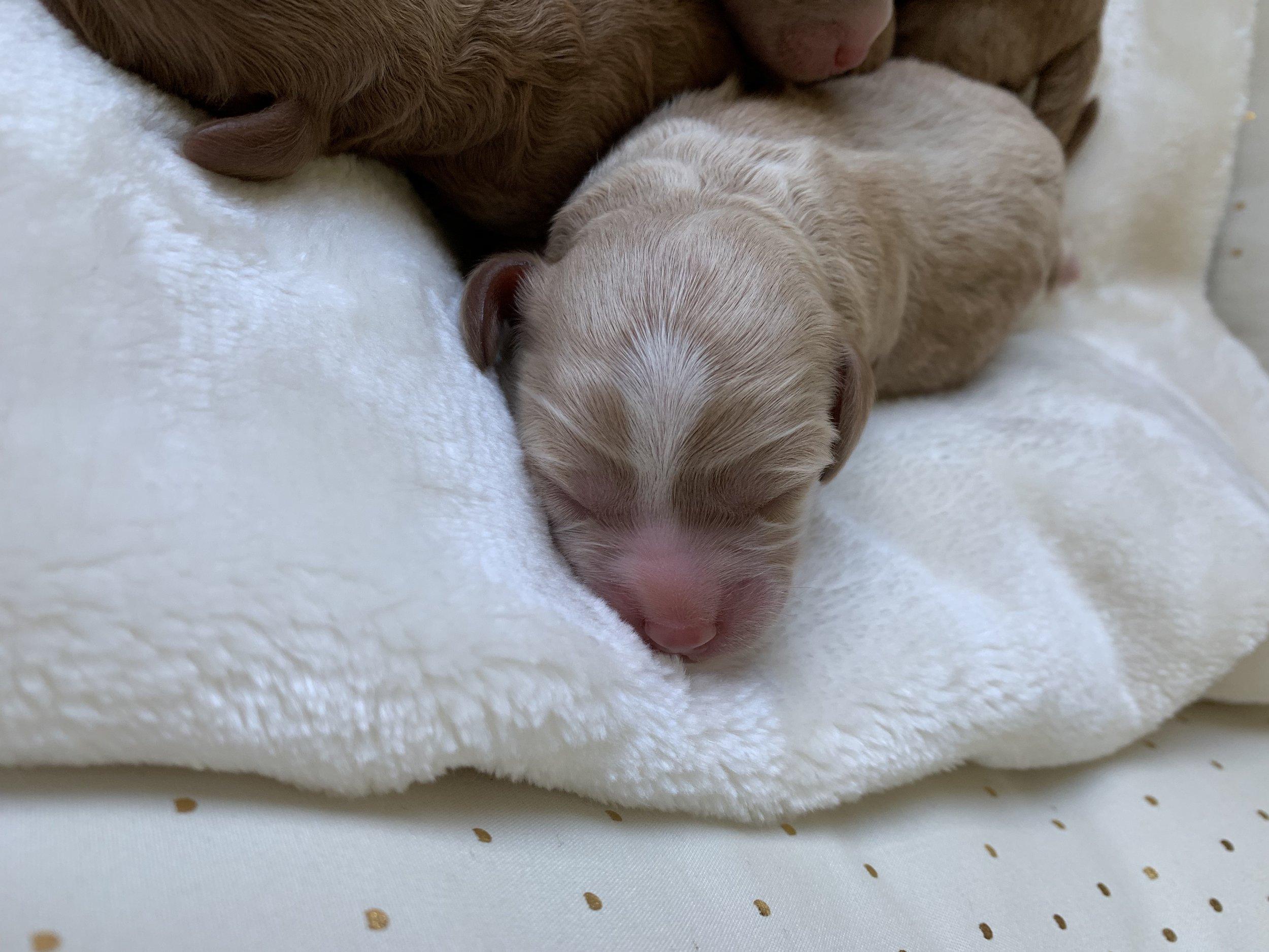 Susie's Apricot Cavapoochon puppy boy