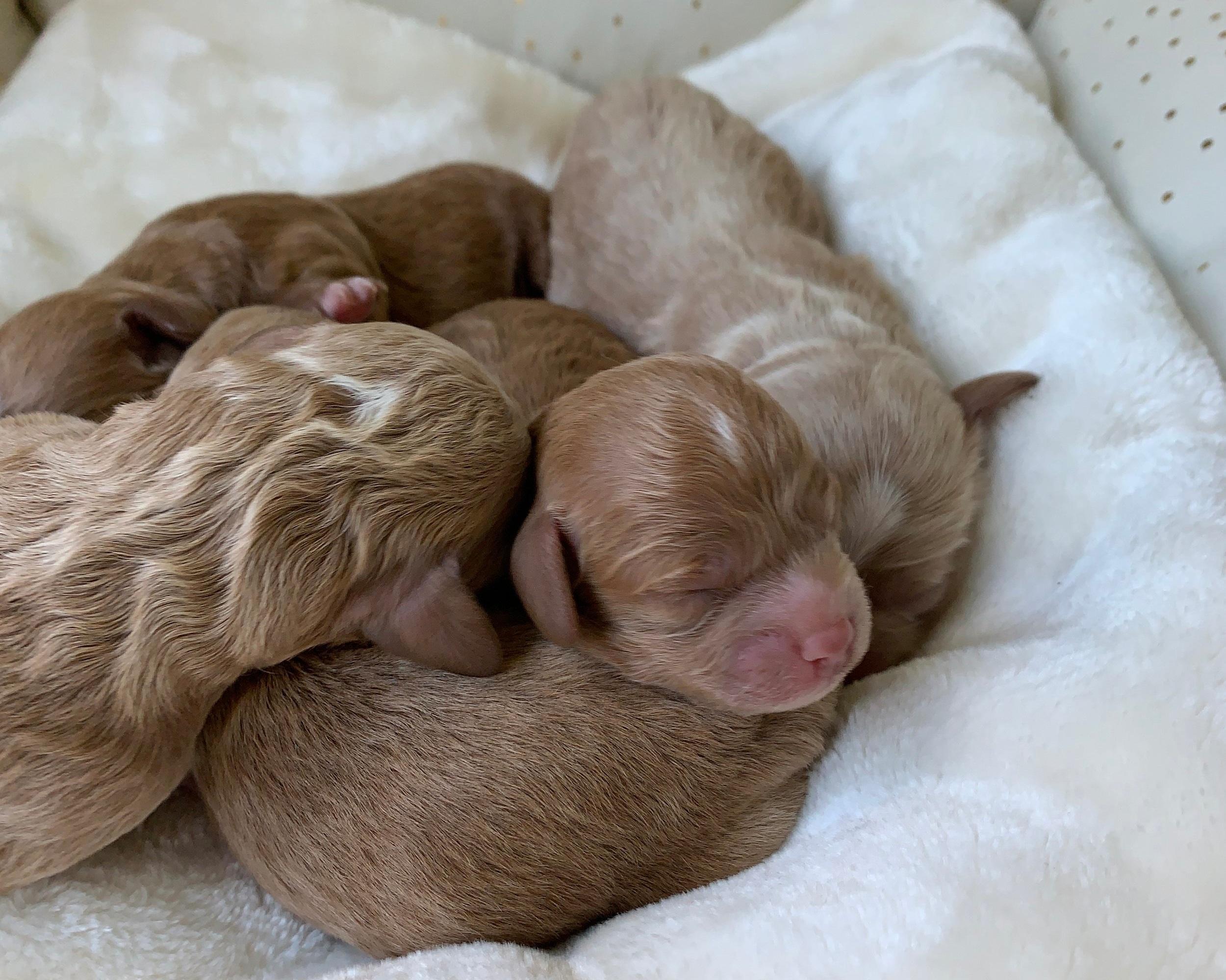 Cavapoochon babies