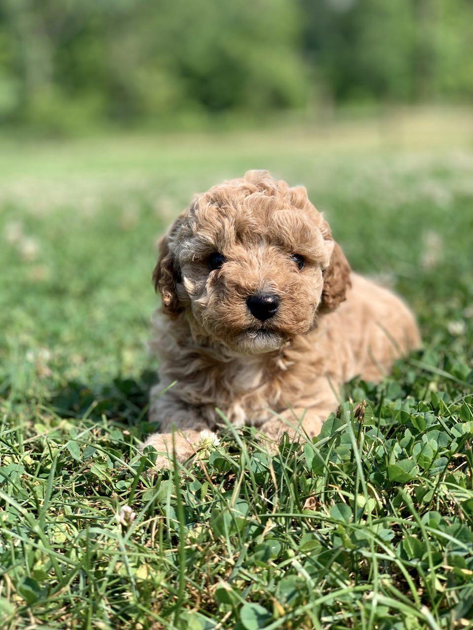 cavapoochon puppy for sale