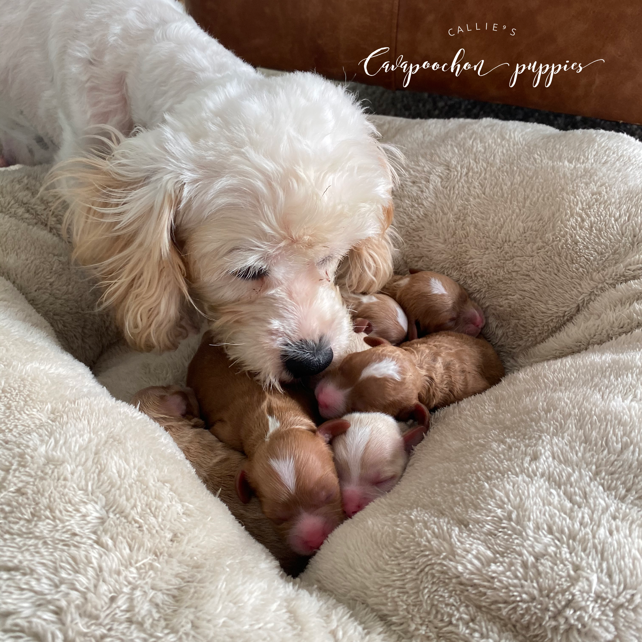 Callie with her sweet one day old puppies