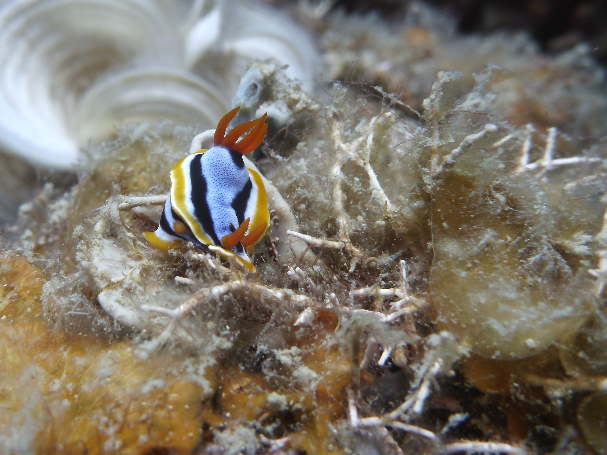 Two nudibranchs mating(?) in Malaysia.