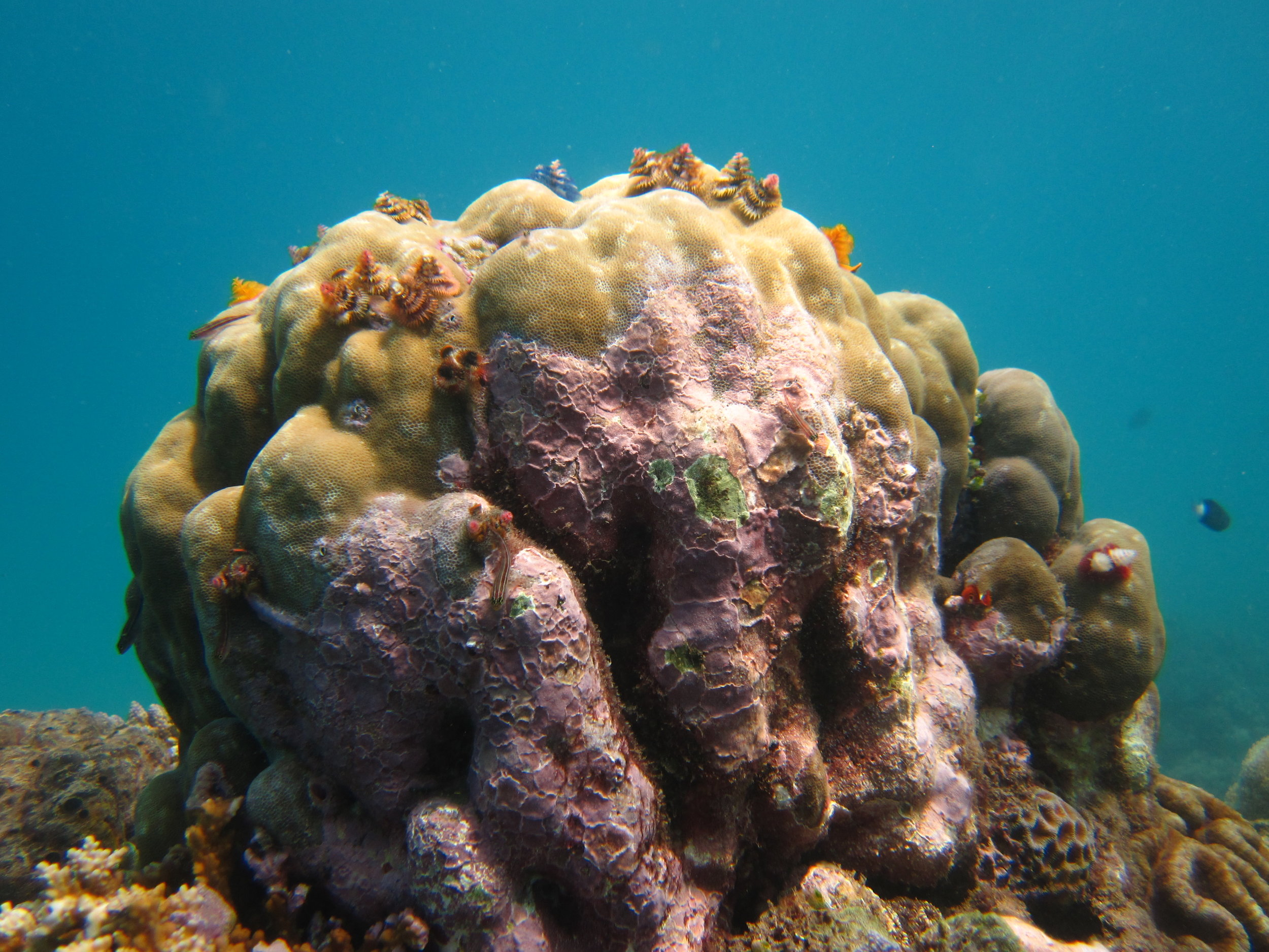 A  Porities  coral with Christmas tree worms and crustose coralline algae in Timor-Leste.