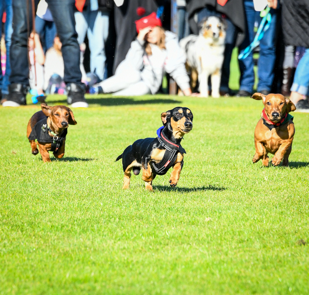 Dachshund Dash - The main event! - Sun 9 June,10:30-middaySouthcombe Oval, Campbell St- 100 dogs race in heats, then finals.- Followed by novelty races, including an all-breeds category.- Seating is available, please come early to grab a chair.- We also have an accessibility area for great viewing for people in wheelchairs or mobility scooters.