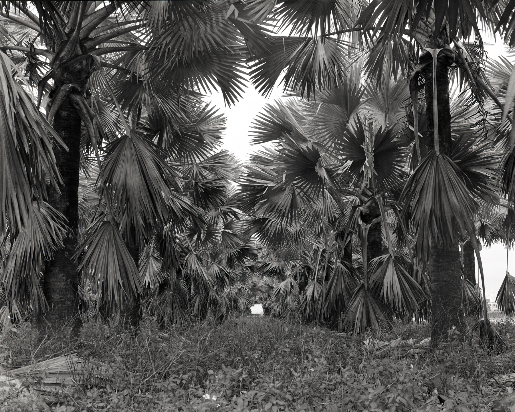 Palm Rows, 2015