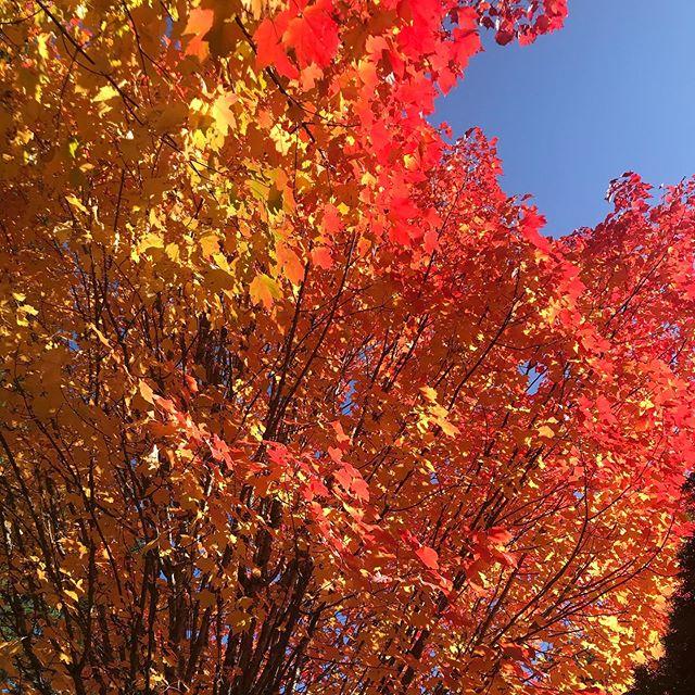 Fall colors against a perfect sky — #fallcolors #fallinpdx #dogwalkies
