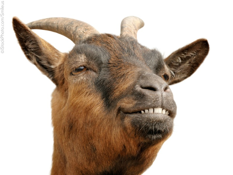 Have a picture of a smug goat. Mostly because I'm working a little too close to deadline to take an actual pic