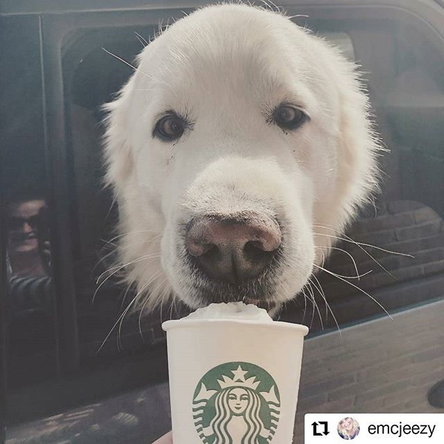 #Repost @emcjeezy • • • • • • Sometimes my job is epic. (If you look carefully you can see my goofy grin in the reflection of the car.) #puppuccino #greatpyrenees #tobeapartner