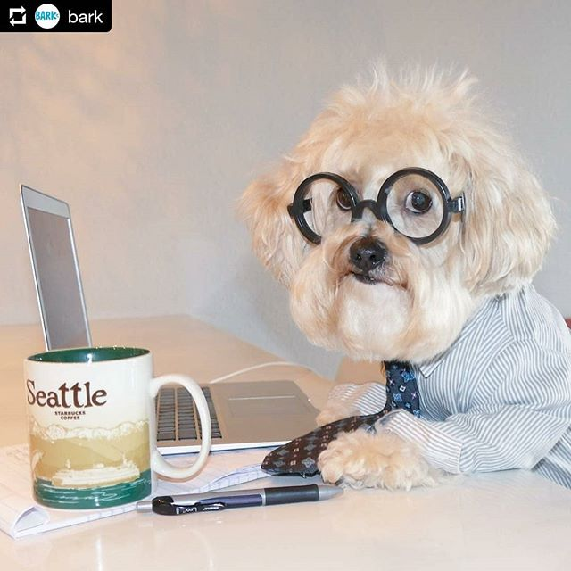 Oh my gosh this pup is hard at work, and drinking from a Seattle Starbucks global icon series mug. They don't make those beautiful mugs anymore. #Starbucks #starbucksmugs #starbucksmug #dogsofinstagram  #Repost @bark • • • Need some help at work? Scruffy is NOT busy.  #putonyour #workpants #cavapoo