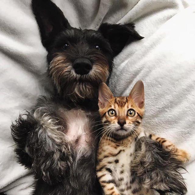 What an adorable pair!! #schnauzer #bengalcat