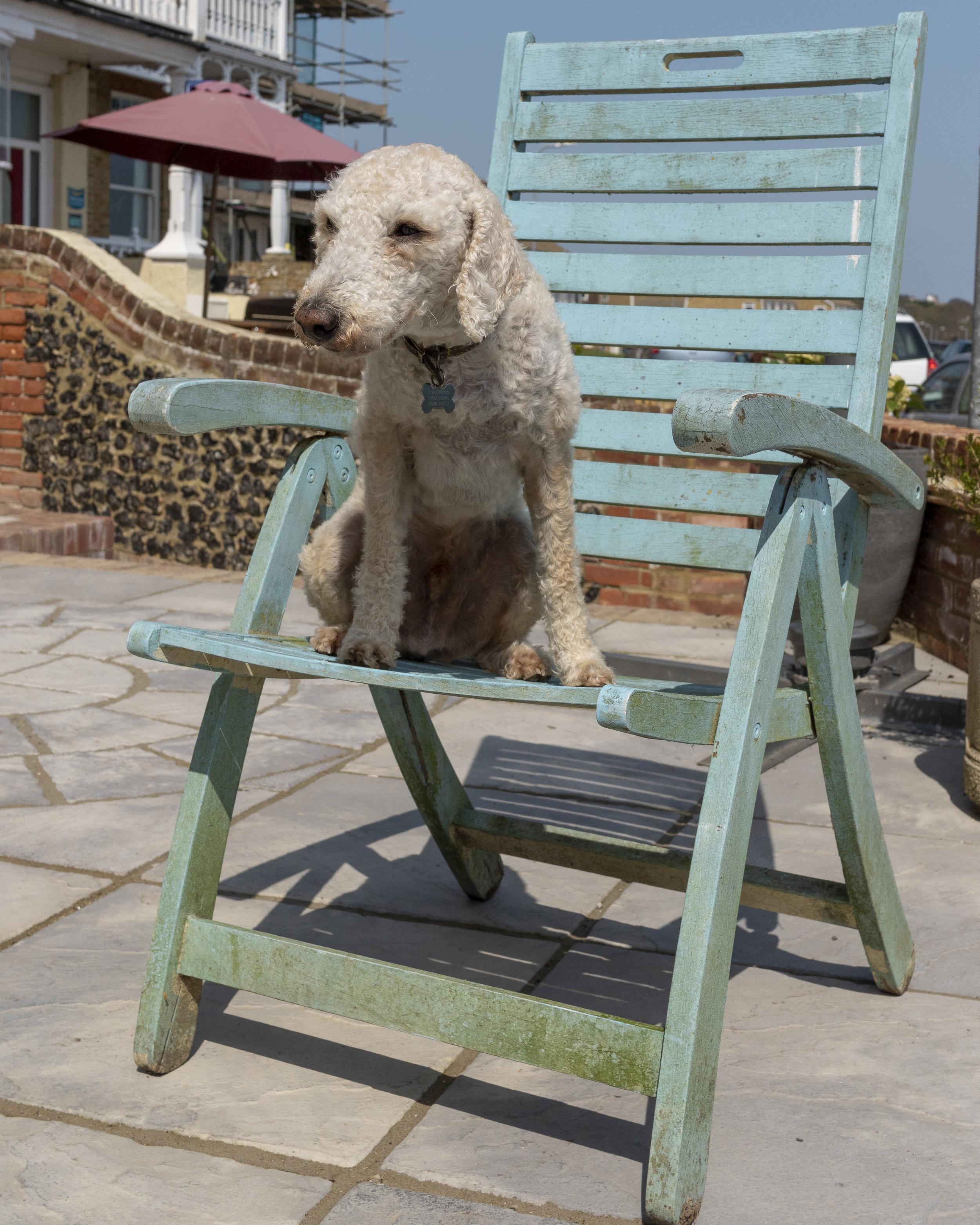 Ben the Bedlington Terrier
