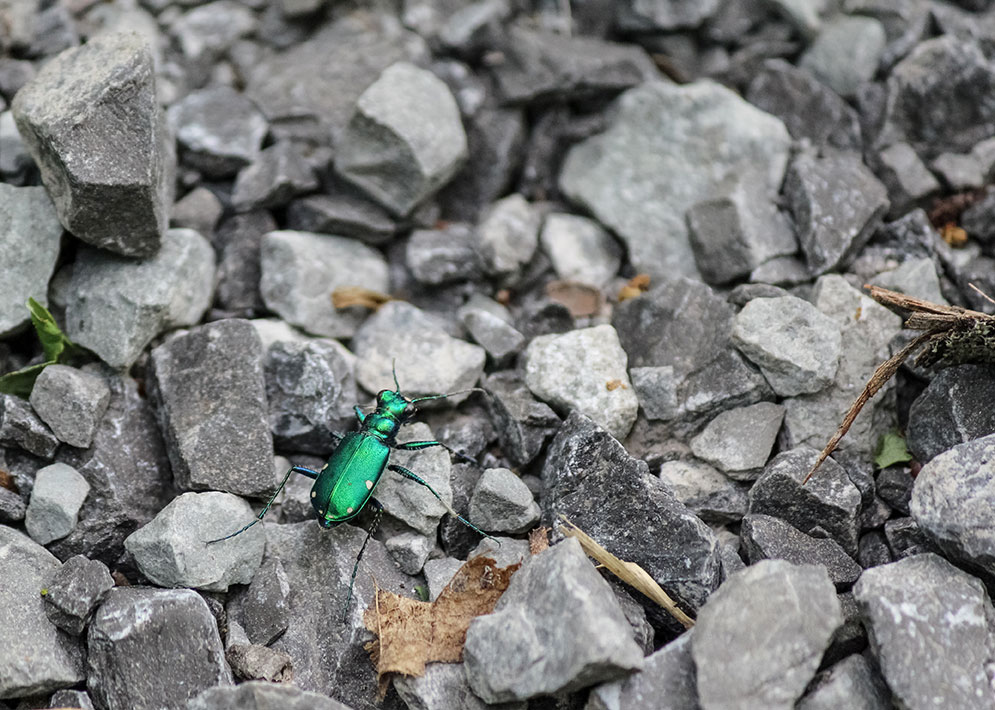 Tiger Beetle-Cicindela sexguttata