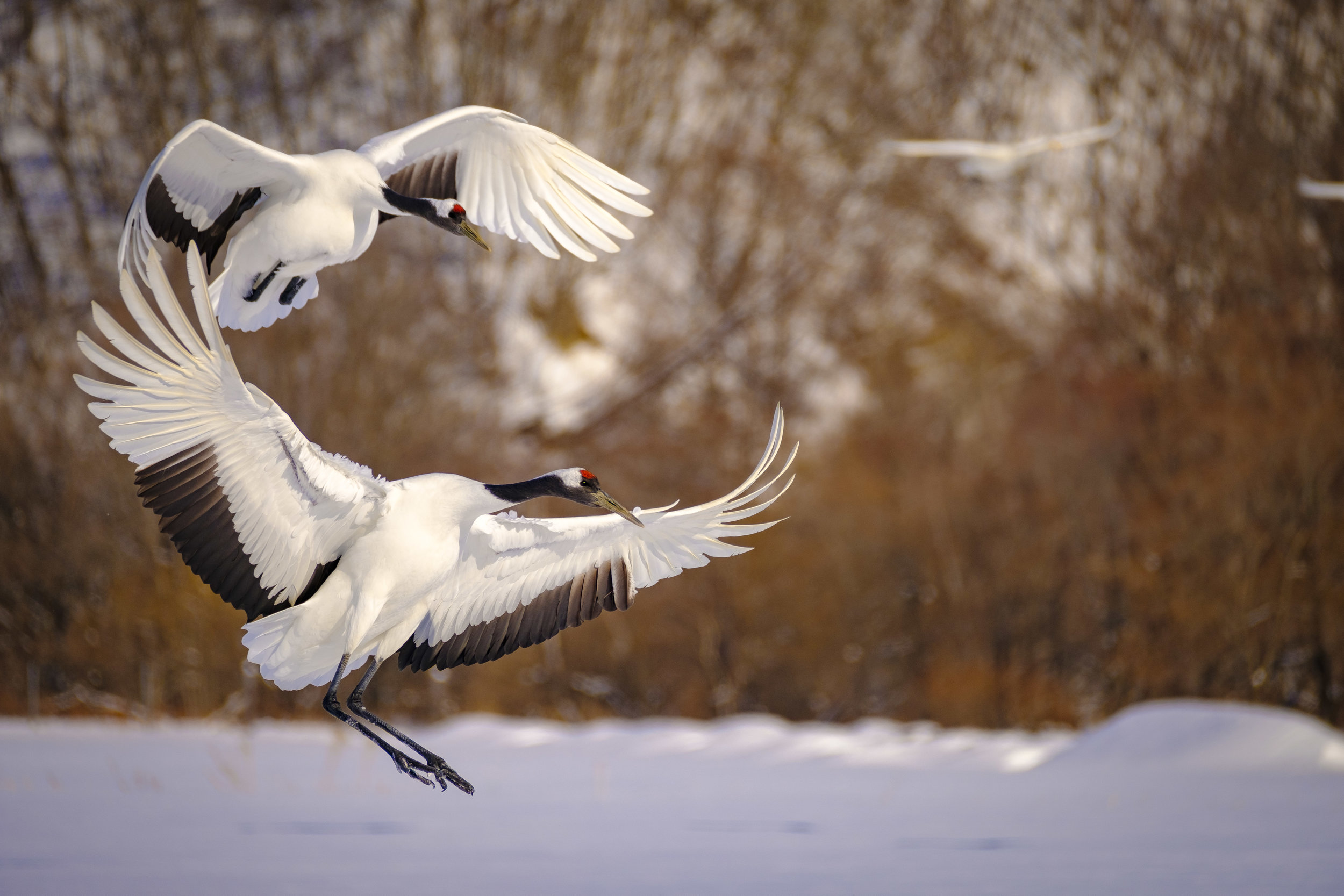 Red Crowned Cranes Coming in Hot - XF 100-400mm