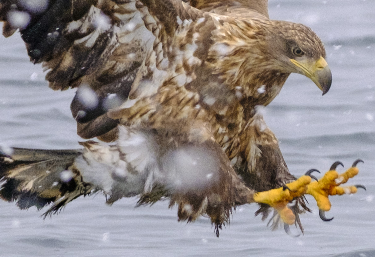 Crop from White-Tailed Eagle image above @ ISO 1600