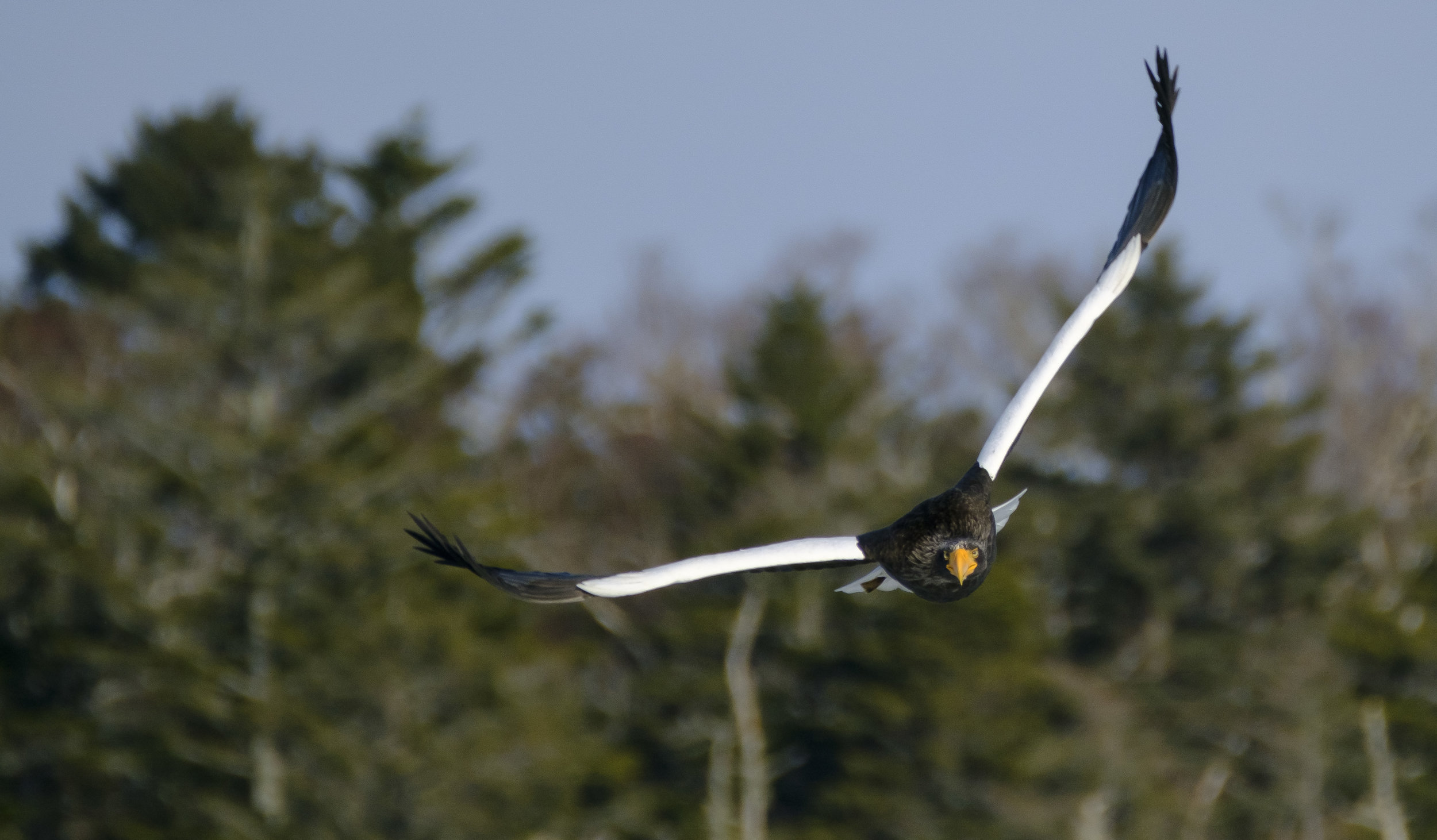 Tracking a Steller's Sea Eagle at F8? Not a problem - XF 100-400mm + XF 1.4TC