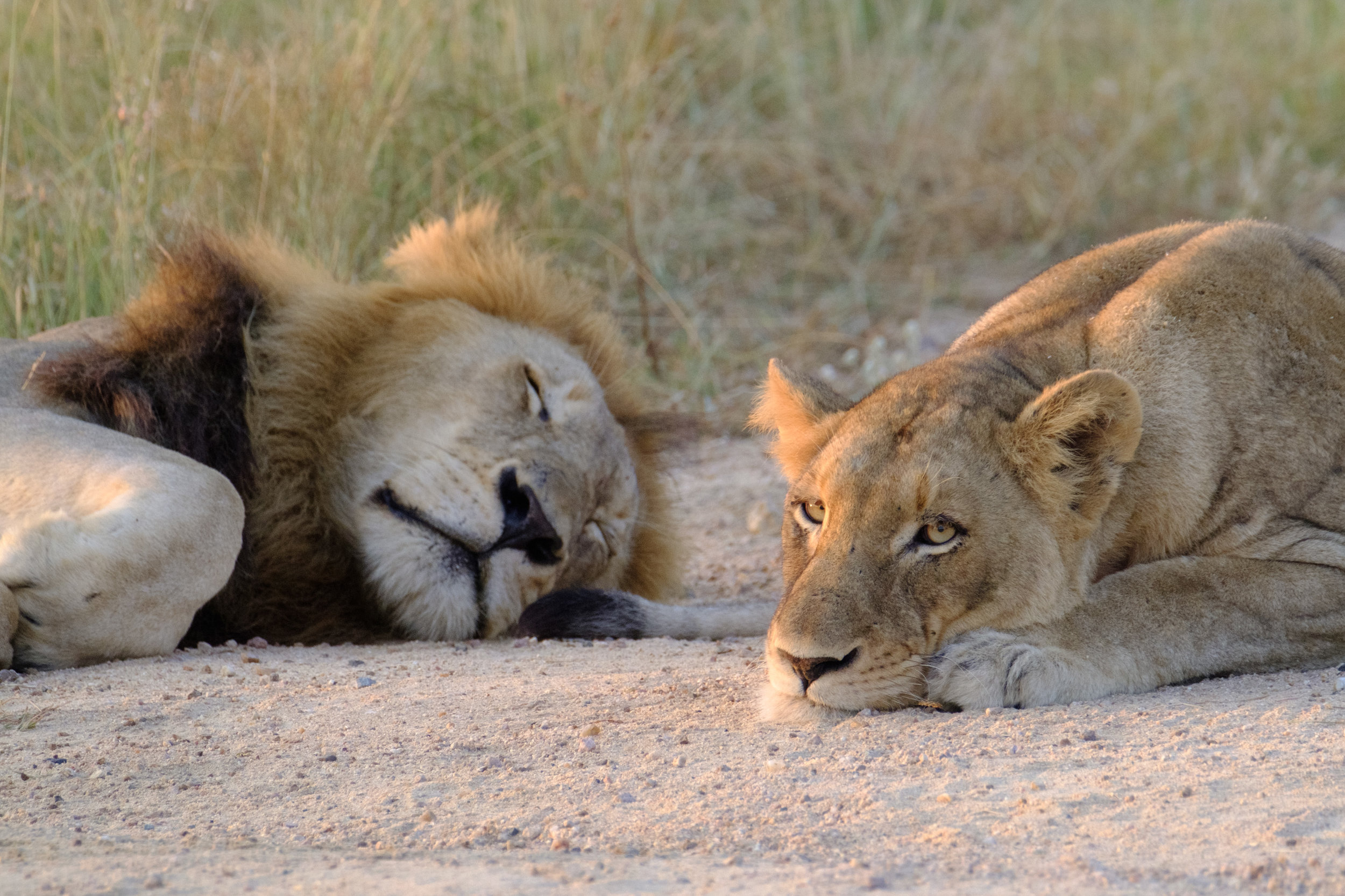 Lions in between mating sessions - XF 100-400mm with 1.4x TC, F5.4, ISO 3200