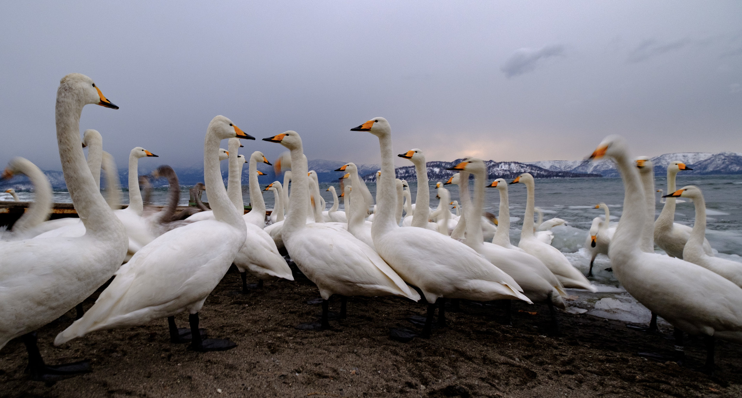 Whooper Swans - 10mm, F4, 1/6s at ISO 640