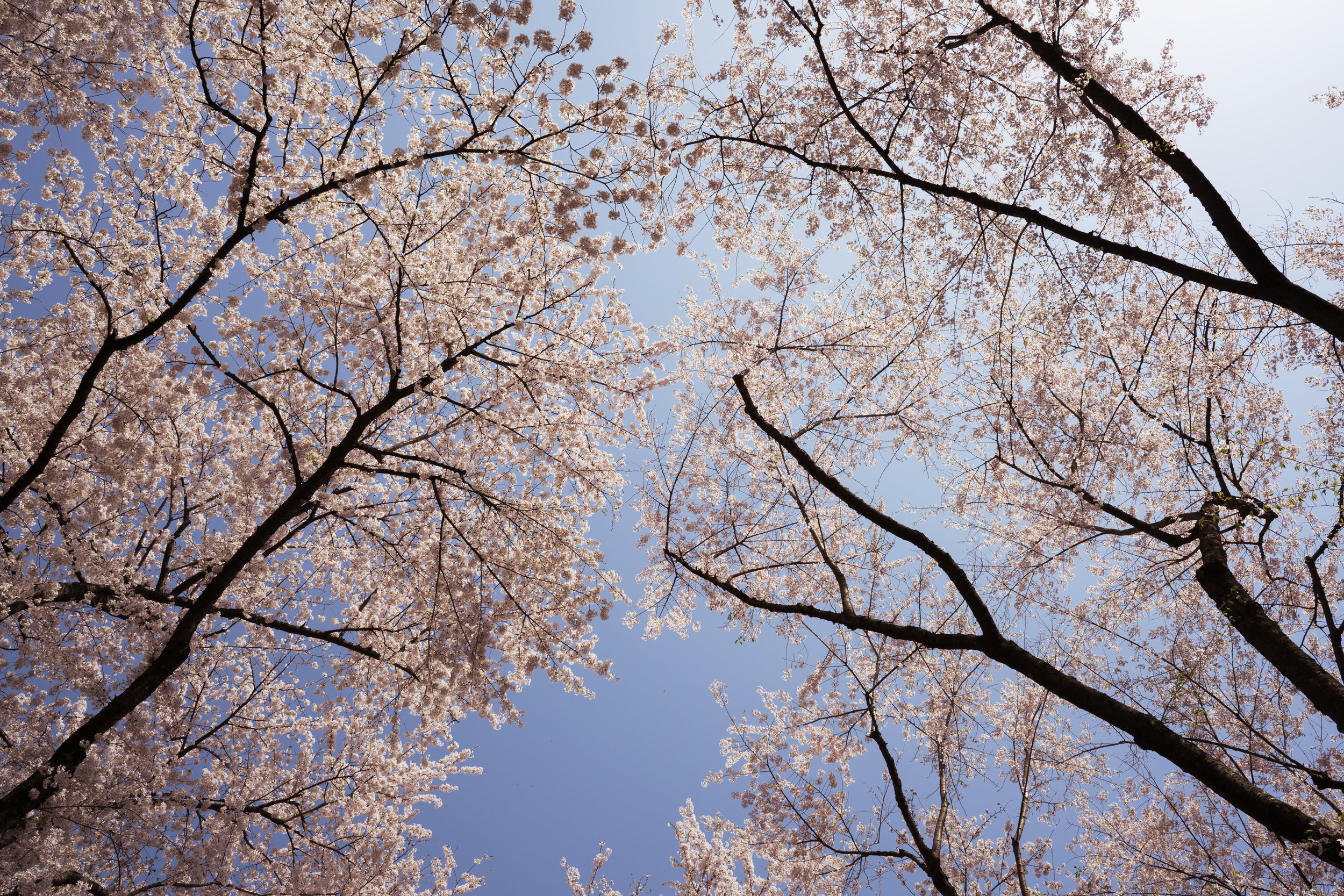 A sky of cherry blossoms - 25mm @ F9