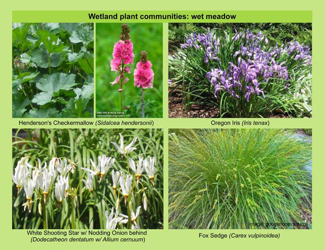 Plants-for-LID_Gaynor-16.jpg
