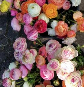 Ranunculus Amandine Pastel Series