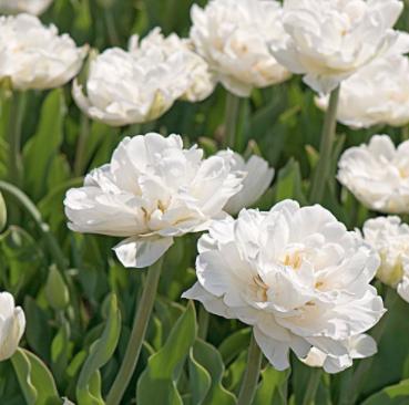 Mt Tacoma Tulips