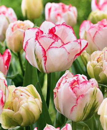Cartouche Tulips