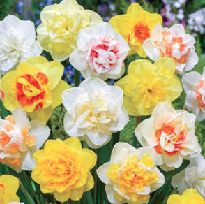 Double Mix Daffodils