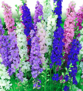 Delphiniums - Variety of Colors