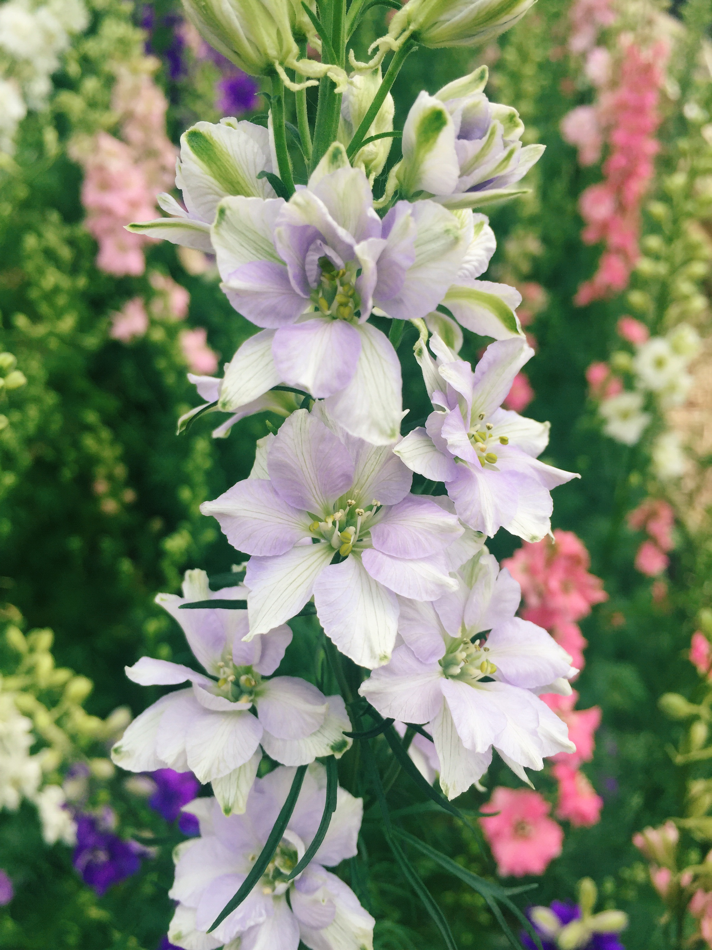 Larkspur - Variety of Colors