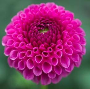 Dahlias - Many Varieties