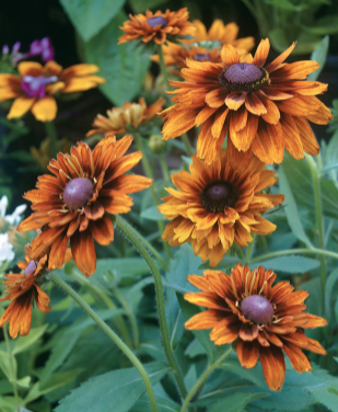 Rudbeckia - Variety of Colors