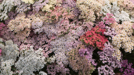 Yarrow - Variety of Colors
