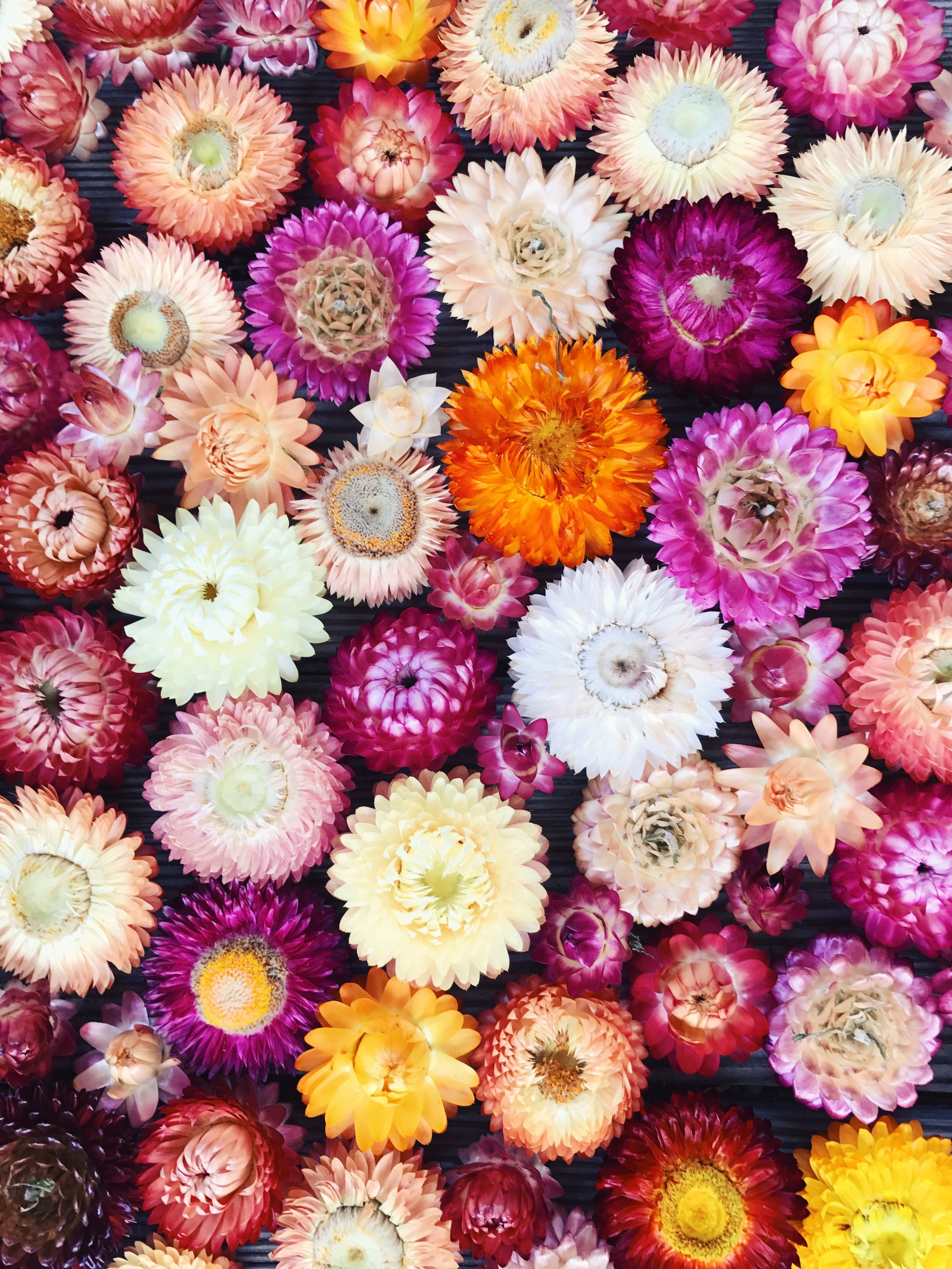 Strawflower - Variety of Colors