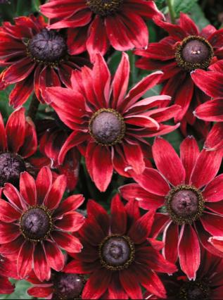 Rudbeckia - Many Varieties