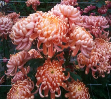 Mums- Variety of Colors