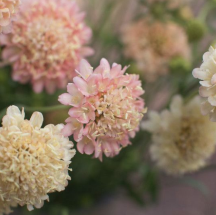 Scabiosa - Variety of Colors