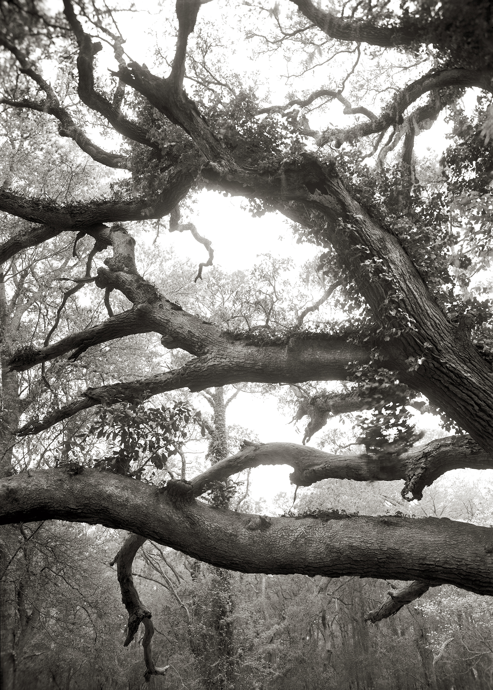 LIMBS, OVER ONE HUNDRED YEARS OLD